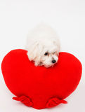 Bichon puppy dog in studio Stock Photos