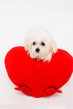 Bichon puppy dog in studio Royalty Free Stock Photography