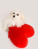 Bichon puppy dog in studio Royalty Free Stock Photo