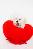 Bichon puppy dog in studio Stock Photo