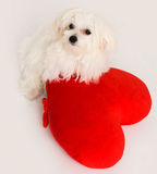 Bichon puppy dog in studio Stock Images