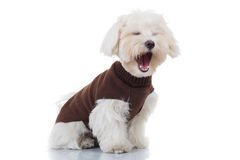 Bichon puppy dog wearing clothes is screaming. On white background Royalty Free Stock Image
