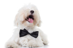 Bichon puppy with mouth open and tongue exposed  looks  up Stock Image