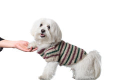 Bichon puppy saying hi Royalty Free Stock Image