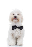 Bichon puppy is sitting and sticking out tongue Stock Photo