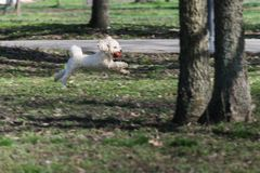 Bichon is running and jumping with a red ball in mouth in park royalty free stock image