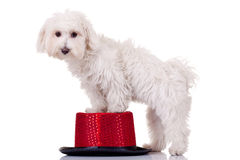 Bichon standing on a hat. Bichon maltese standing with front legs on a show hat Stock Photography