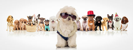 Bichon wearing sunglasses sitting in front of dogs Royalty Free Stock Image