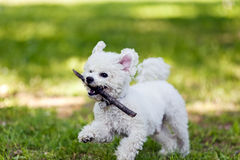 Bichon with wooden stick in the park Stock Images