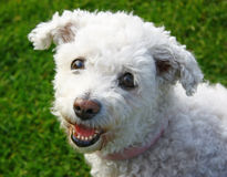 bichonhundfrise royaltyfri bild