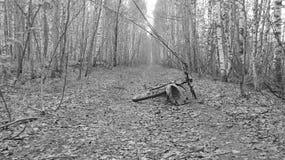 Bicicleta e trouxa na fuga da floresta do vidoeiro Imagem de Stock Royalty Free