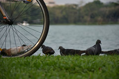 Bicicletas estacionadas perto do lago e da pomba na grama Imagens de Stock