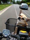 Bicicletta di guida della chihuahua Immagine Stock