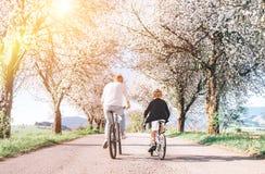 Biciclette iding del figlio e del padre sulla strada campestre sotto gli alberi del fiore Immagine sportiva sana di concetto di s fotografia stock