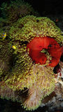 Bicinctus και Heteractis Magnifica Amphiprion Στοκ εικόνες με δικαίωμα ελεύθερης χρήσης