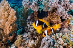 Bicinctus Amphiprion δύο Ερυθρών Θαλασσών anemonefish Στοκ φωτογραφία με δικαίωμα ελεύθερης χρήσης