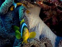 Bicinctus Amphiprion (Ερυθρά Θάλασσα clownfish) Στοκ Φωτογραφία
