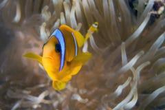 Bicinctus d'Amphiprion (clownfish de la Mer Rouge) photographie stock libre de droits