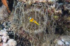 Bicinctus del Amphiprion (clownfish del Mar Rosso) Fotografia Stock