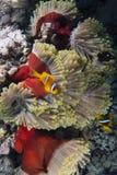 Bicinctus del Amphiprion e Heteractis Magnifica Fotografie Stock Libere da Diritti