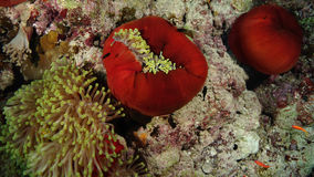 Bicinctus del Amphiprion e Heteractis Magnifica Immagine Stock