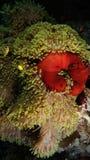 Bicinctus del Amphiprion e Heteractis Magnifica Immagini Stock Libere da Diritti