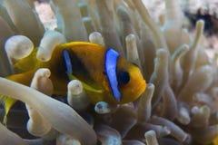 Bicinctus do Amphiprion (clownfish do Mar Vermelho) fotos de stock royalty free