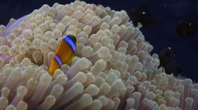 Bicinctus do Amphiprion (clownfish do Mar Vermelho) Imagem de Stock Royalty Free