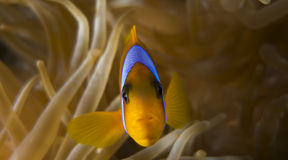 Bicinctus do Amphiprion (clownfish do Mar Vermelho) Imagem de Stock