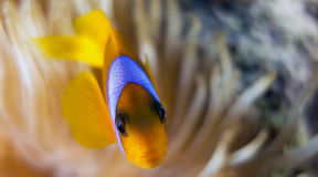 Bicinctus do Amphiprion (clownfish do Mar Vermelho) Imagens de Stock