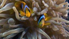 Bicinctus do Amphiprion (clownfish do Mar Vermelho) Foto de Stock Royalty Free