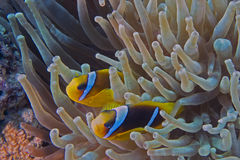 Bicinctus do Amphiprion (clownfish do Mar Vermelho) fotografia de stock royalty free