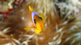 Bicinctus do Amphiprion (clownfish do Mar Vermelho) Foto de Stock