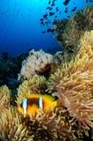 Bicinctus Twoband Amphiprion anemonefish στη Ερυθρά Θάλασσα Στοκ φωτογραφία με δικαίωμα ελεύθερης χρήσης