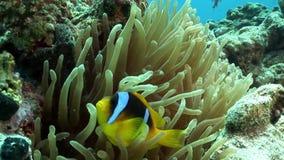Bicinctus van Amphiprion van clownvissen in de Prachtige anemoon van Stichodactylidae stock videobeelden