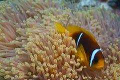 Bicinctus van Amphiprion - nemo - de vissen van de Clown Stock Fotografie