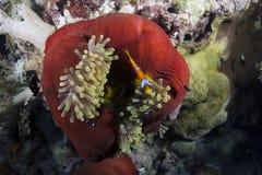 Bicinctus y Heteractis Magnifica del Amphiprion Foto de archivo