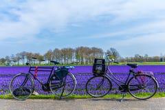 bicis turísticas parqueadas cerca de un campo de flor holandés púrpura azul vibrante fotografía de archivo libre de regalías