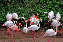 Bickering flamingos at lake shore. Group of greater flamingos, wading birds with long pink legs, some of them quarreling Royalty Free Stock Photos