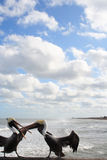 Bickering pelicans stock photo