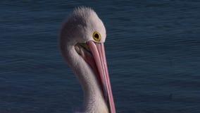 Bico cor-de-rosa e longo de um pelicano vídeos de arquivo
