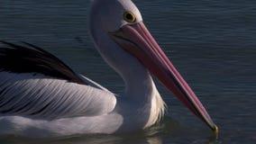 Bico cor-de-rosa e longo de um pelicano filme