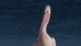 Bico cor-de-rosa e longo de um pelicano video estoque
