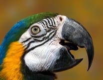 Bico masculino do papagaio   Foto de Stock