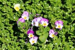 Bicolor światło - purpur i białego Dziki pansy lub altówka tricolor mali dzicy kwiaty z jaskrawymi płatkami zasadzającymi w miejs obraz stock