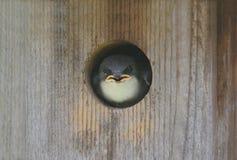 bicolor вал tachycineta ласточки Стоковые Фото