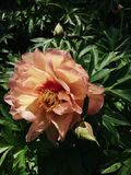 Bicolor цветок пиона в цветени стоковые фото