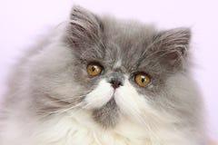 Молодой bicolor персидский кот Стоковое Изображение
