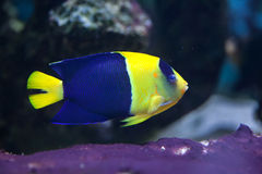 Bicolor angelfish (Centropyge bicolor). Also known as the oriole angelfish. Wildlife animal Royalty Free Stock Photos