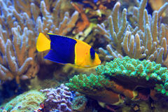 Bicolor Angelfish. (Centropyge bicolor) in Japan Royalty Free Stock Image